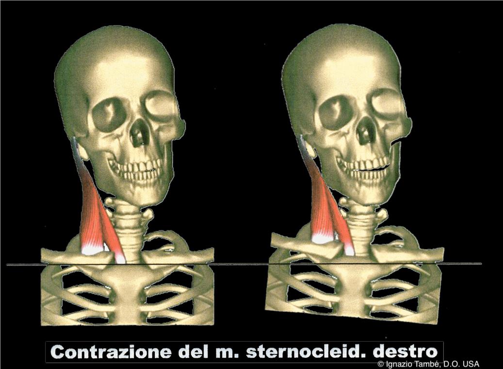 Sterno_ArticolazioneTM_Pic1
